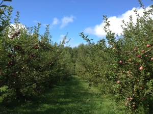 McIntosh trees at Lakeside Orchards