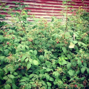 wild raspberries behind the barn in Maine